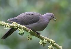 NE Brazil: Plumbeous Pigeon (spiderhunters) Tags: brazil bird rainforest bahia atlanticforest mataatlantica neotropics plumbeouspigeon patagioenasplumbea serrabonita
