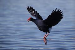I can fly! (kasia-aus) Tags: bird nature water june funny open purple flight beak australia swamp canberra hen 2013