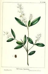 Anglų lietuvių žodynas. Žodis cliftonia monophylla reiškia <li>cliftonia monophylla</li> lietuviškai.