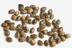 Castor oil seeds (bestcommunity) Tags: plant nature closeup danger rural garden beans christ diesel houseplant serbia farming seed bio bean medical oil nerve agriculture biology medicinal communis cultivation castor poisonous laxative toxin pharmaceutical ricin cultivate poisoning ricinus hervest castoroil cotyledons purgative monotypic