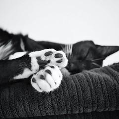 Sleepy Kitty (mkshunter) Tags: cute 6x6 animal cat fry kitten wildlife sleepy tuxedocat figarocorneliusfry