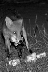 2K132137 (Tyrone Williams) Tags: nightphotography red cute nature animal female night cub high lowlight nocturnal darkness natural feeding wildlife flash iso fox 7d feed foxes 580ex alert vixen scavenger highiso 400iso nightexposure 70200mm redfox scavenging agile flashsync 70200l canon70200lf4 bbcwales canon580ex 2013 wildfox canonef70200mmf4lusm canon70200f4usm canonef70200lf4usm isnight goldwildlife bbcwalesnature canon7d bbcnature canon70200lf4usm canon70200lf4nonis canonef70200lf4nonis canonef70200lnonis canonef70200lf4usmnonis canonef70200lusmf4nonis wildanimalwild feedingfoxes foxscavengernight scavengernight