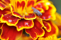 beauty and the beastC (DarrenBaileyLRPS) Tags: macro butterfly bug insect photography spider nikon wasp dragonfly web snail insects bee colourful hoverfly extrememacro dbailey creatiive darrenbailey darrenbaileyart