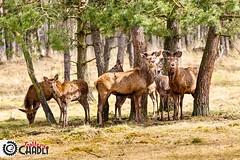 Herd of Red deer (Gallery Chadli) Tags: forest thenetherlands deer antlers april herd reddeer veluwe gelderland matured