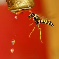 wasp weightless (aziouezmazouz) Tags: macro cute nature insect lights amazing colours action bokeh ngc vivid cutie breathtaking bellissima naturesfinest vibrantcolours vividstriking