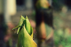 Grasshopper. (Gattam Pattam) Tags: plant macro green college grass leaves architecture garden insect leaf focus courtyard grasshopper depth parasite