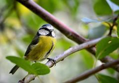 Blue tit (Parus caeruleus) (Seventh Heaven Photography) Tags: blue autumn england tree bird nature leaves yellow garden branch tit shropshire britain wildlife bluetit caeruleus parus