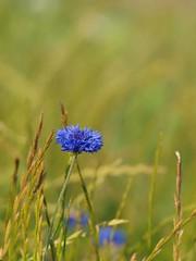 Encore un peu d'été * (Titole) Tags: blue field cornflower bleuet titole nicolefaton