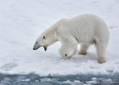 Tired (Hkon Kjllmoen, Norway) Tags: norway svalbard arctic polarbear tired polar isbjrn impressedbeauty flickrdiamond canoneos5dmarkiii 5dmkiii coth5
