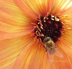 harmony (Kazooze) Tags: orange flower macro nature nursery bee harmony