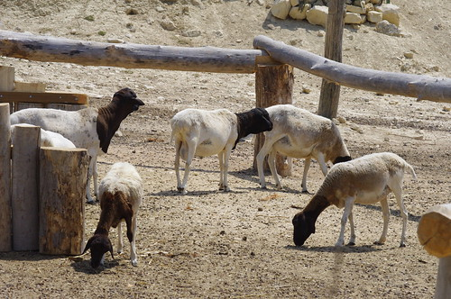 Moutons de Somalie