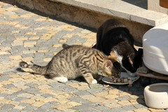 Cats (gripspix (BUY BUY! OFF NOW!)) Tags: cats germany bayern deutschland bavaria kitten franconia franken katzen ktzchen prichsenstadt 20130821