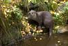 Lutra lutra lutra - European Otter (Roger Wasley) Tags: otter highlandwildlifepark europeanotter lutralutralutra
