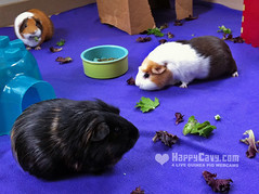 The Guinea Pigs Munch on Lettuce (happycavy) Tags: pet cute animal guinea pig guineapig cavy floor time guineapigs small floortime