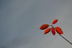 last leaves (focallocus) Tags: uk light red sky nature garden ian leaf nikon availablelight foliage sooc d5100 focallocus