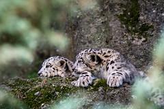 two cubs (Cloudtail the Snow Leopard) Tags: zoo salzburg tier animal mammal säugetier katze cat groskatze raubkatze bigcat beutegreifer raubtier schneeleopard snow leopard irbis panthera uncia cub jung young cloudtailthesnowleopard