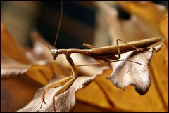 Mantis (gilxxl) Tags: insectos portugal sony animais vidaselvagem louvaadeus tondela dslra100 bestcapturesaoi mygearandme mygearandmepremium mygearandmebronze mygearandmesilver mygearandmegold mygearandmeplatinum mygearandmediamond gilbertooliveira ruby10 ruby15 flickrsfinestimages1 flickrsfinestimages2 ruby20 gilxxl