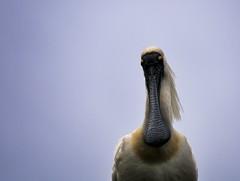 Royal Spoonbill, Waitangiroto River (jurassicjay) Tags: newzealand bird nature birds wildlife nz southisland aotearoa westland ornithology spoonbill birdlife royalspoonbill platalearegia waitangiroto