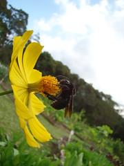 Abelha na Flor! (jardel_s_leite) Tags: natureza abelha inseto mamangava margarido