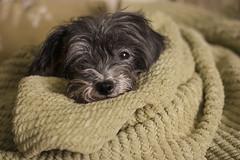 7/365 (dks10) Tags: dog blanket cinder