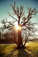 Angry Tree (Chrisnaton) Tags: sun tree nature sunshine bluesky sunray angrytree