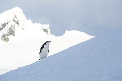 20131201_155607_Antarctica_D700_8759.jpg (Reeve Jolliffe) Tags: world cold ice nikon antarctica 300mm environment icy nikkor southernocean continent antarctic ecosystem ffl southernhemisphere primelens antarcticpeninsula greatsouthernocean fixedfocallength expeditioncruise d700 polarclimate antarcticcircle adventurecruise smallshipcruise 300mmf4nonafs australocean
