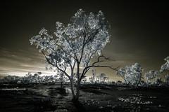 Waiting for the right time. (erglis_m (Mick)) Tags: sky blackandwhite bw contrast sunrise canon ir blackwhite interesting desert nt australia canoneos20d infrared dust australianlandscape infraredfilter theoutback centraldesert tanami duckponds tanamidesert