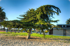 Cypress at the Beach (365-083) (straehle) Tags: california tree beach unitedstates cypress hdr goleta project365 canon5dmkiii {vision}:{outdoor}=099 {vision}:{sky}=0601 {vision}:{plant}=0915 {vision}:{clouds}=051 {vision}:{mountain}=056