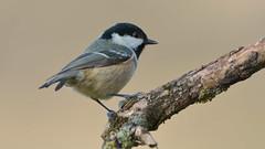 Coal Tit (Full Moon Images) Tags: bird nature tit wildlife sandy reserve lodge coal thelodge rspb