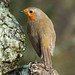 DSCF9274 Robin