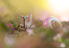 (twomeows (away...)) Tags: macro mantis insect snail surreal dreamy