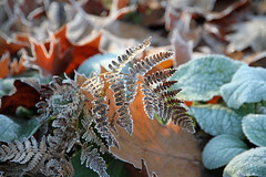 Gele matinale (Yvan LEMEUR) Tags: nature hiver gel froid fort feuilles saisons fougres gele feuillesmortes gelematinale