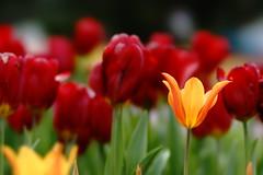Tulip (ddsnet) Tags: plant flower sony taiwan 99 tulip   taoyuan  slt         singlelenstranslucent 851 99v