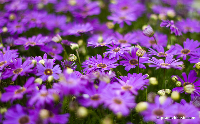 Purple Flowers Fading Into Oblivion, At Leisure Valley, Gurgaon