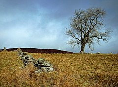 The Shepherding Tree (kenny barker) Tags: landscape scotland day cloudy perthshire explore landscapeuk olympusep1 panasonic20mmf17asphlens