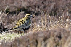 Golden Plover (ron.hindhaugh) Tags: nature nikon heather moors 500mm plover d800 widlife goldenplover
