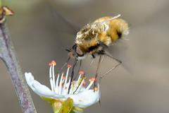 Bee-fly (Bombylius major) (Rogpow) Tags: insects isleofwight bradingdown beefly bombyliusmajor