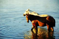 Ressojando... (Eduardo Amorim) Tags: brazil horses horse southamerica field gua brasil criollo caballo cheval caballos agua sonnenuntergang dam barragem campo cavalos pelotas damm pferde cavalli cavallo cavalo pferd barrage pampa champ anoitecer coucherdesoleil hest aguada hevonen campanha brsil chevaux entardecer crepsculo  amricadosul aude diga hst  amriquedusud   sudamrica suramrica amricadelsur  sdamerika crioulo caballoscriollos criollos  costadoce americadelsud  crioulos cavalocrioulo americameridionale caballocriollo auffangen eduardoamorim cavaloscrioulos
