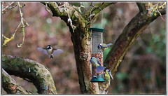 Blue Tits on Feeder (saundersfay) Tags: bluetits flying feeding painteffectbackgroundt bluetitts birds fluttering countryside kent 2017