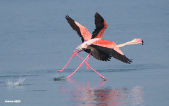 Ready .... GO!! (Amro Afifi) Tags: flamingo race sports amroafifi wow wildlife wild sea sun charming colorful unique photooftheday