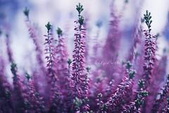 - (-LilyBeth) Tags: nature natura nikon d3000 dof depthoffield wonderfulworld outside bokeh colors
