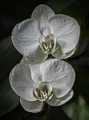 Purity (MrBlueSky*) Tags: orchid flower petal garden horticulture nature kewgardens royalbotanicgardens london plant white ngc aficionados pentax pentaxart pentaxk1 pentaxawards pentaxlife pentaxflickraward doublefantasy
