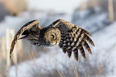 Great Grey Owl (kimng2) Tags: