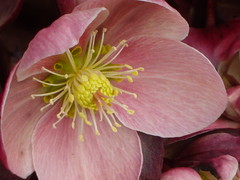 Inner Beauty Displayed - (IRENE - Welcome to Spring) Tags: beauty innerbeauty hellebore helleborebloom pink pinkpetals pinkflowers pinkblooms flowers flowerpower allflowers beautifulflowers beautifulpetals beautifulnature wonderfulnature innerbeautydisplayed outdoorplant plant outdoors outdoorscenes parkscenes localpark lentenrose