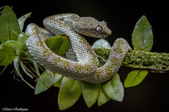 Bocaracá - Eyelash viper (marcodiego87) Tags: costarica