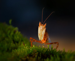 Always (Kathy Macpherson Baca) Tags: entomology jungle protect endangered animal animals insect insects mantis mantid earth invertabrate creature planet wildlfe predator orchid flower male bug bugs wildlife prey preyingmantis prayingmantis macro tiny beautiful cute sweetlight moss nature