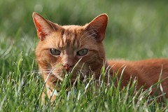Happy Caturday (Kerri Lee Smith) Tags: feline tabby orangetabby orangecats gingertabbies gingercats ginger orange grass spring mack freckles bokeh caturday happycaturday