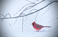 Cardinal on Snow (si_glogiewicz) Tags: snow storm nyc nature snowy twigs animals animal cardinal bird male red bright winter wintery cold spring