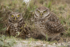 Burrowing Owls (Nick Scobel) Tags: burrowing owl athene cunicularia florida endangered raptor burrow threatened species broward