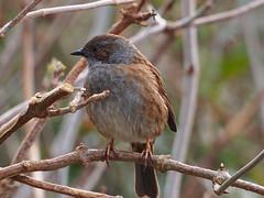 eyes right.... (mark.griffin52) Tags: olympusem5 england norfolk titchwell wildlife nature bird dunnock